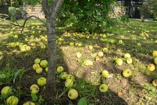 Уборка упавших яблок на землю