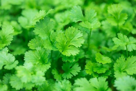 Выращивание зелени кориандра