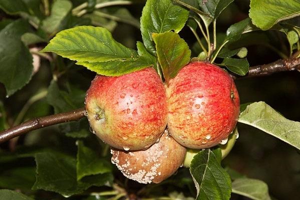 Зараженная монилиозом яблоня