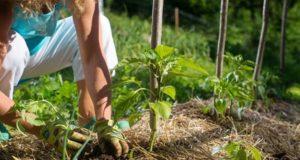 Мульчирование грядок и растений