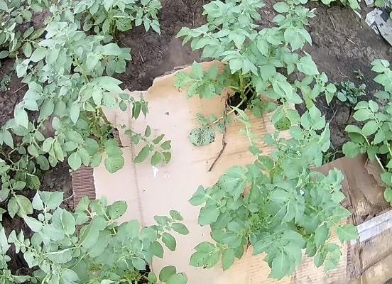 Мульчирование картоном картофеля