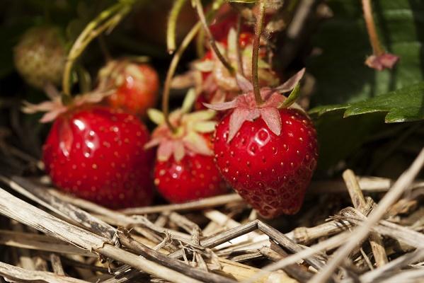 Мульчирование соломой при выращивании ягод