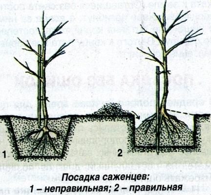 Посадка саженцев в саду