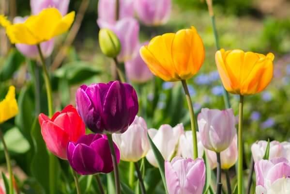 Раннецветущие тюльпаны