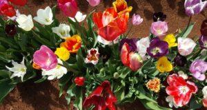 Выбор тюльпанов для посадки в саду