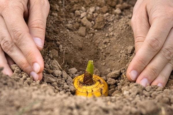 Посадка гладиолусов в землю