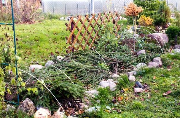 Укрытие роз на зиму еловыми ветками