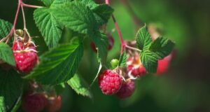 Агротехника малины метод соболева