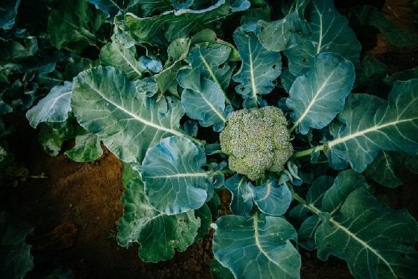 Почва для брокколи