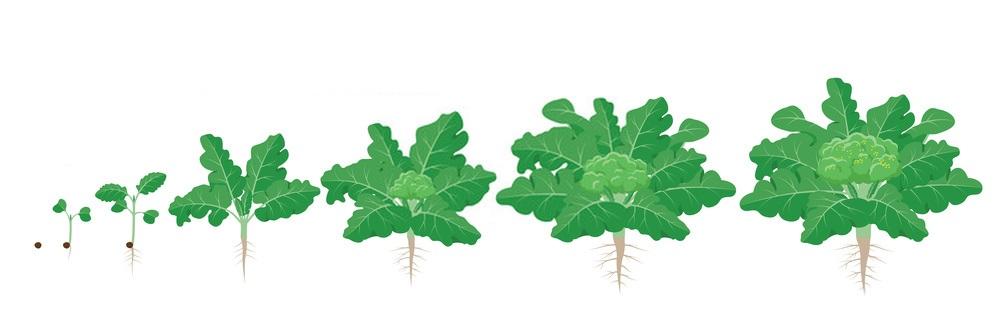 Посадка семян капусты брокколи в грунт