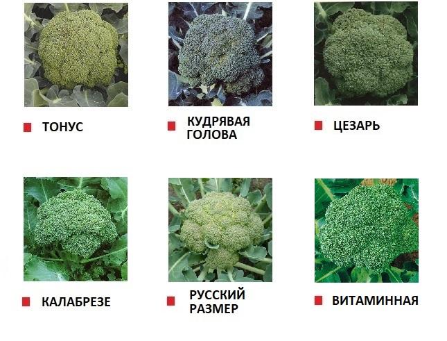 Сорта капусты брокколи