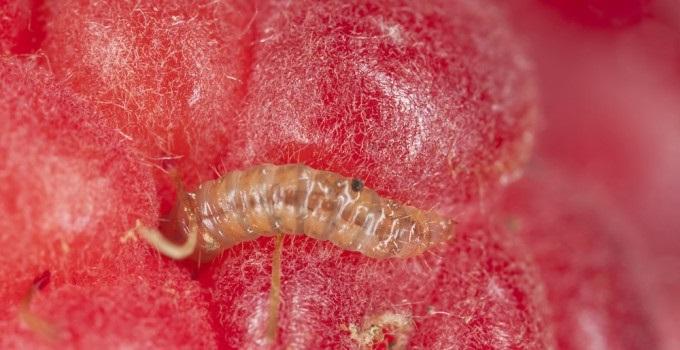 Личинка малинного жука