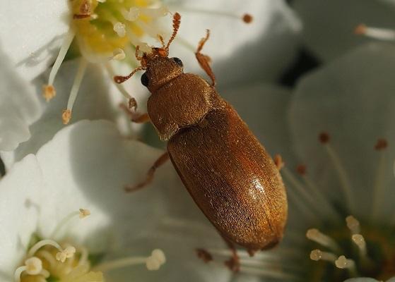 Малинный жук на цветке растения