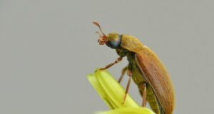 Борьба с малинным жуком