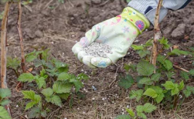 Удобрение малины