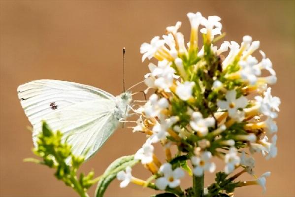 Белая бабочка капустница