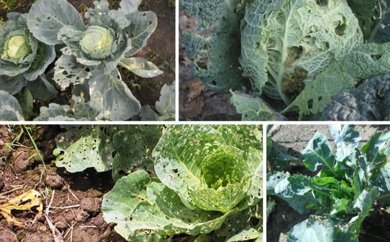 Поврежденные листья капусты вредителями