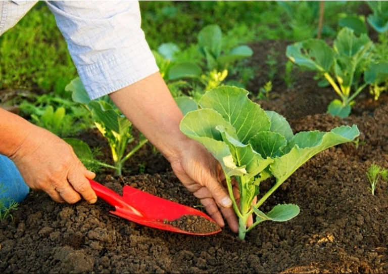 Подкормка капусты в открытом грунте