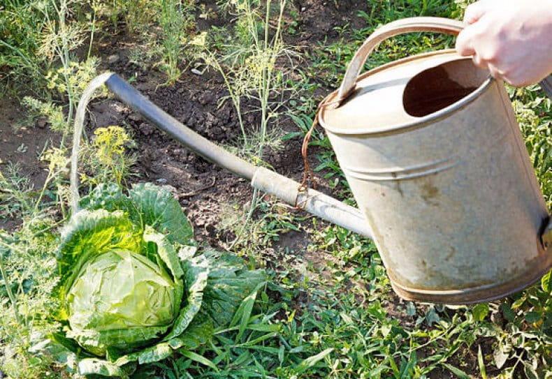 Полив белокочанной капусты