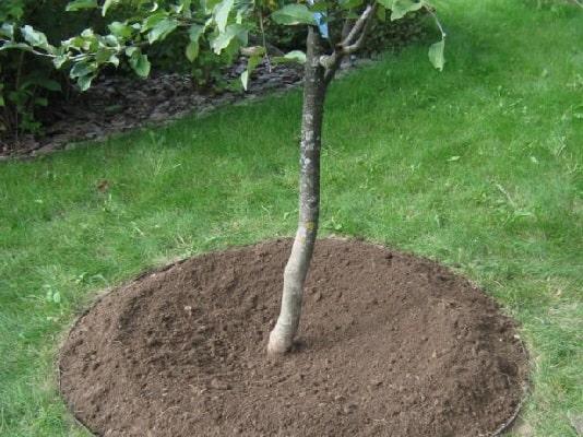 приствольные круги у деревьев в саду