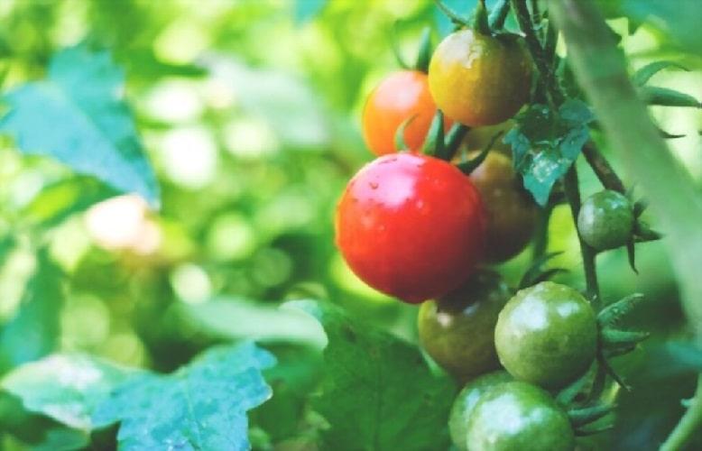 Детерминантные помидоры в теплице