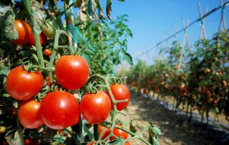 Детерминантные томаты в саду