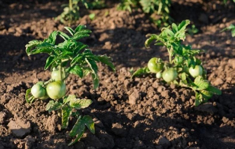Штамбовые томаты не нужно подвязывать