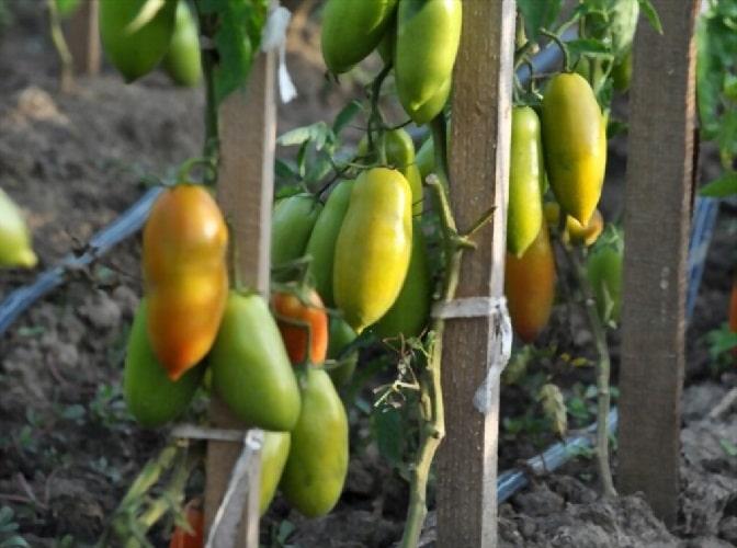 Подвязка помидор в саду