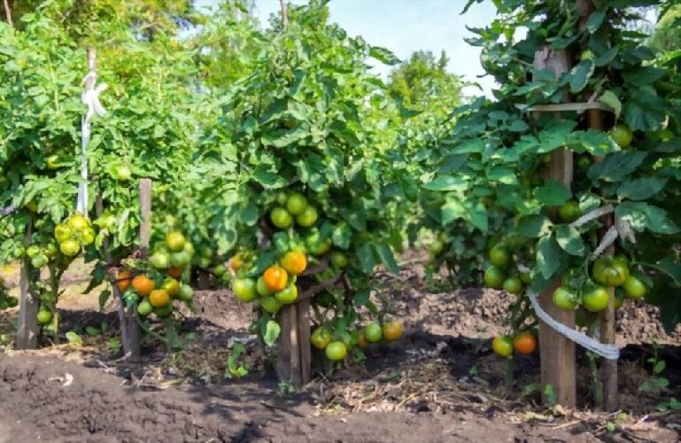 Подвязка помидор в открытом грунте